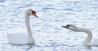 Mute Swan, ML304135861
