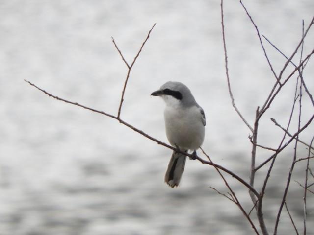 Great Gray Shrike