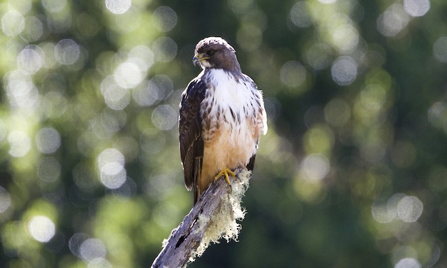 Red-tailed Hawk (costaricensis)