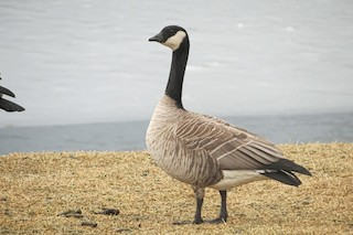 Cackling Goose, ML304209761