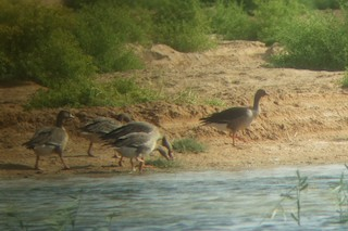 Lesser White-fronted Goose, ML304260311