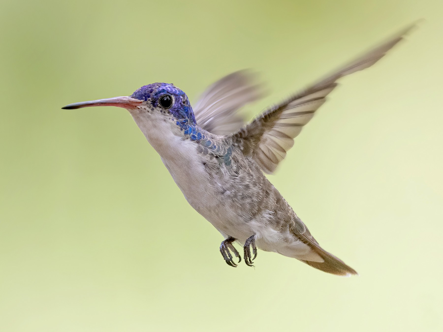Violet-crowned Hummingbird - Bryan Calk