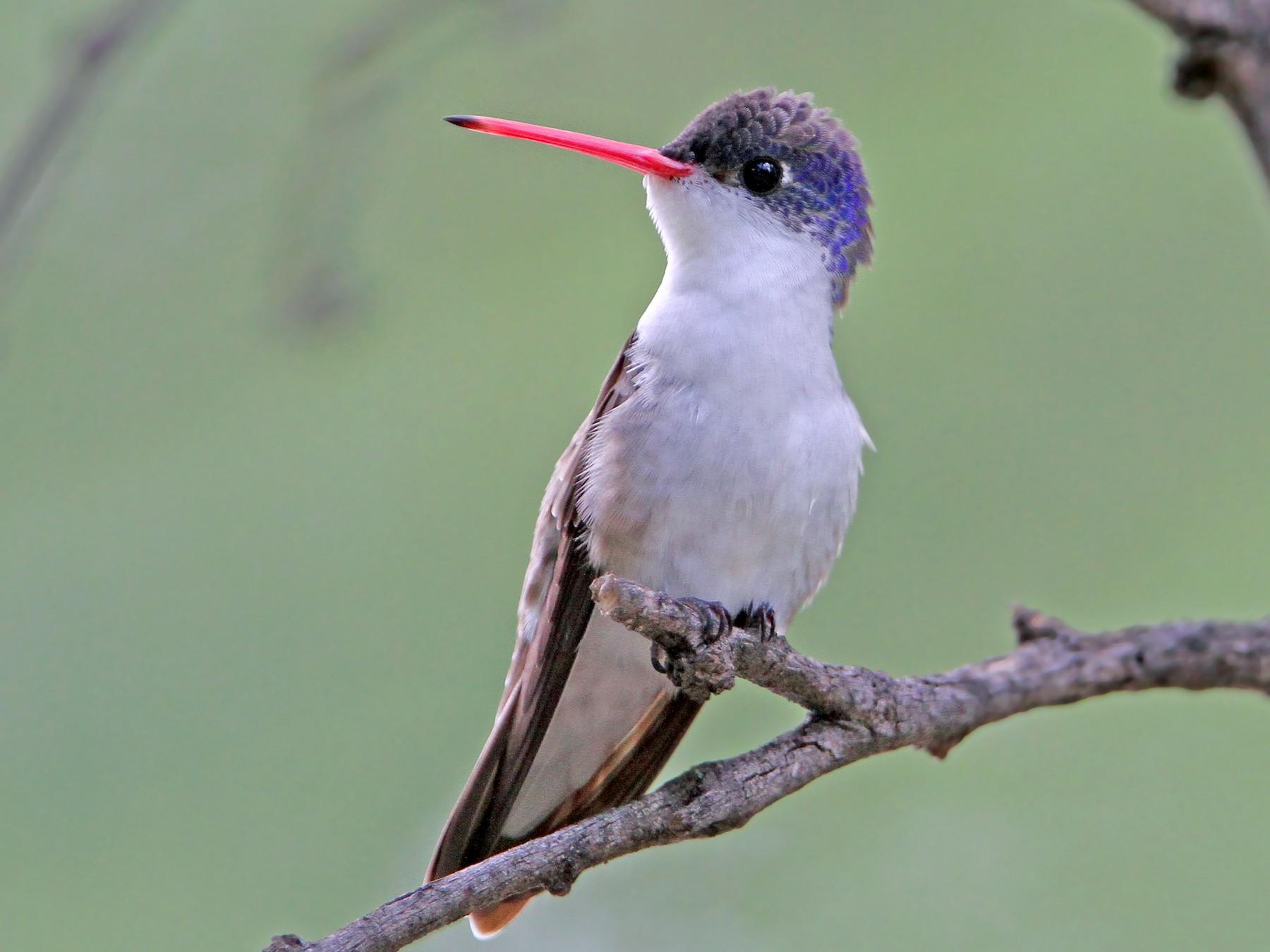 Violet-crowned Hummingbird - Christoph Moning