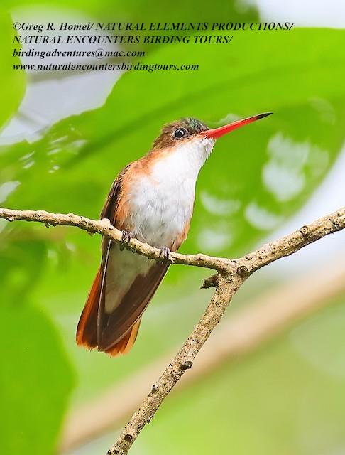 Green-fronted Hummingbird (Cinnamon-sided)