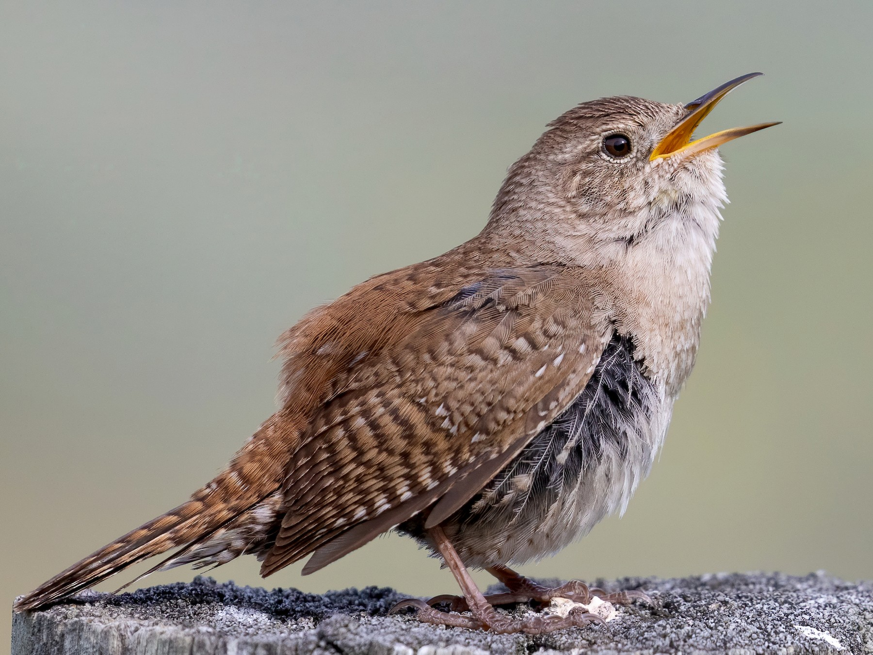 House Wren - Blair Dudeck