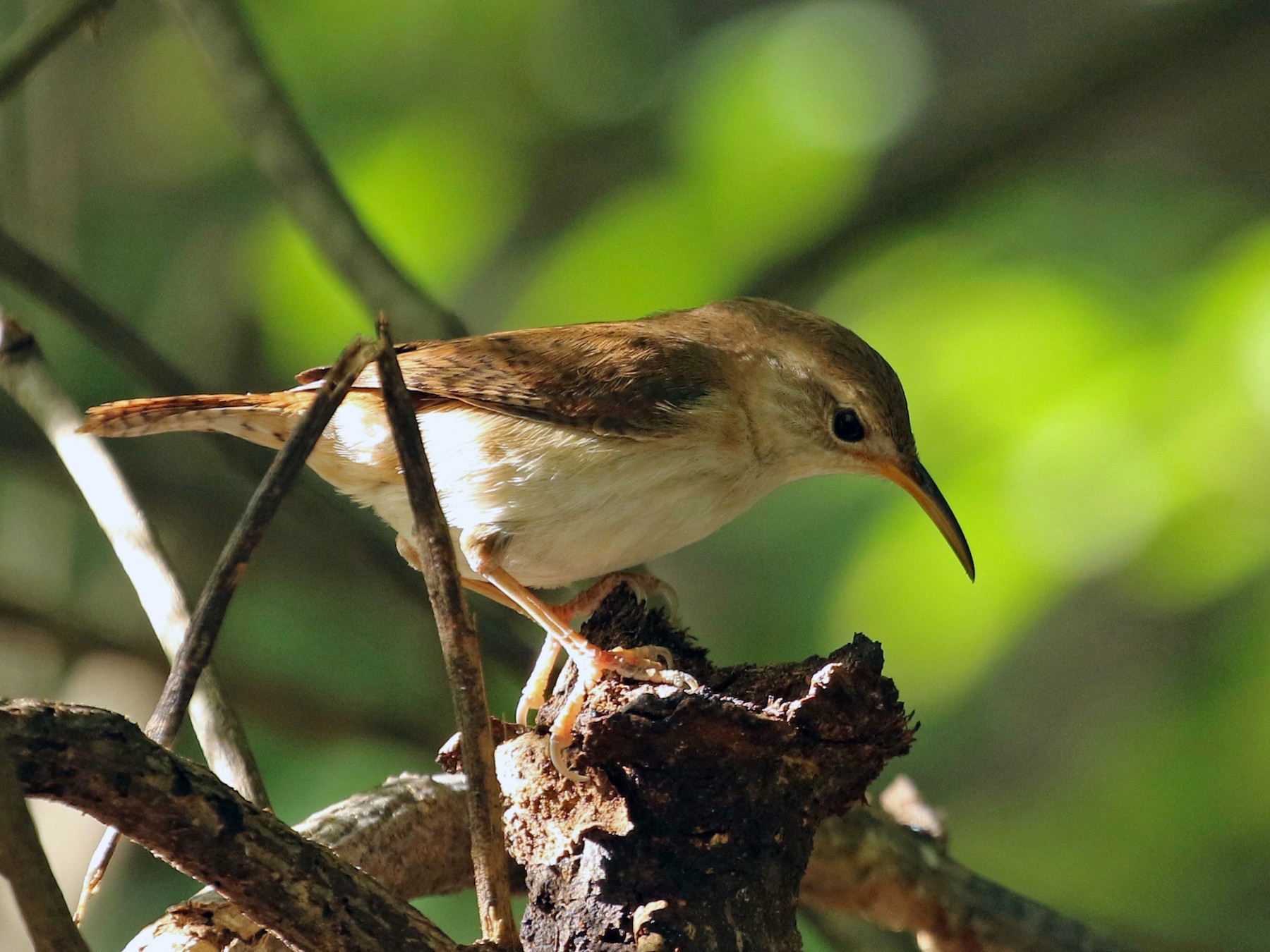 House Wren - Ryan Zucker