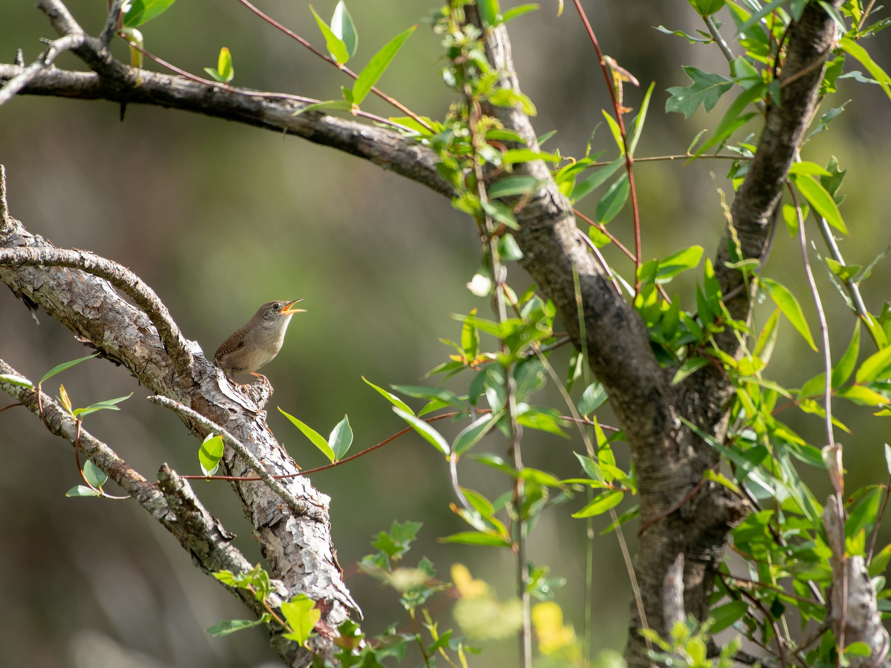 House Wren - Court Harding