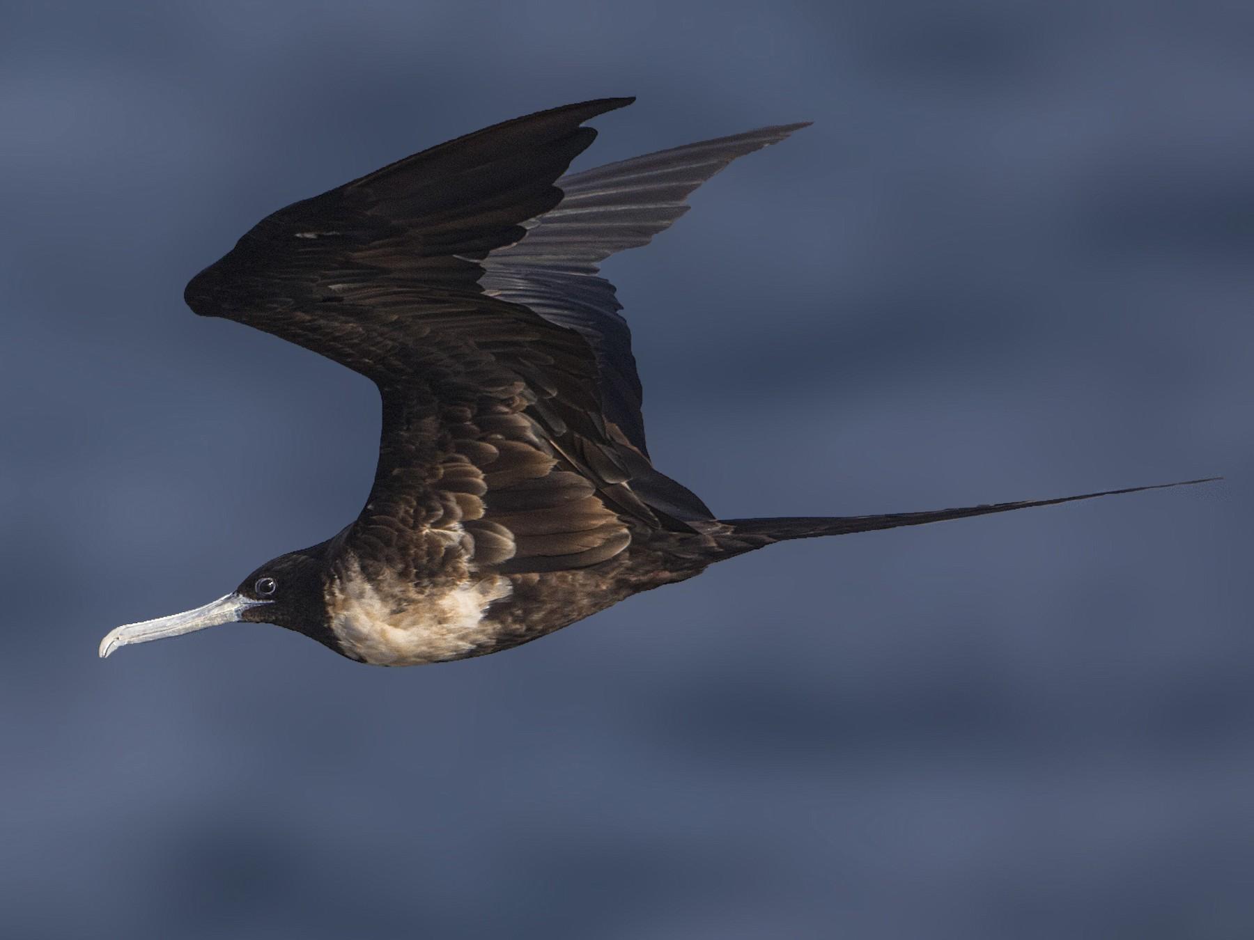 Magnificent Frigatebird - Bradley Hacker