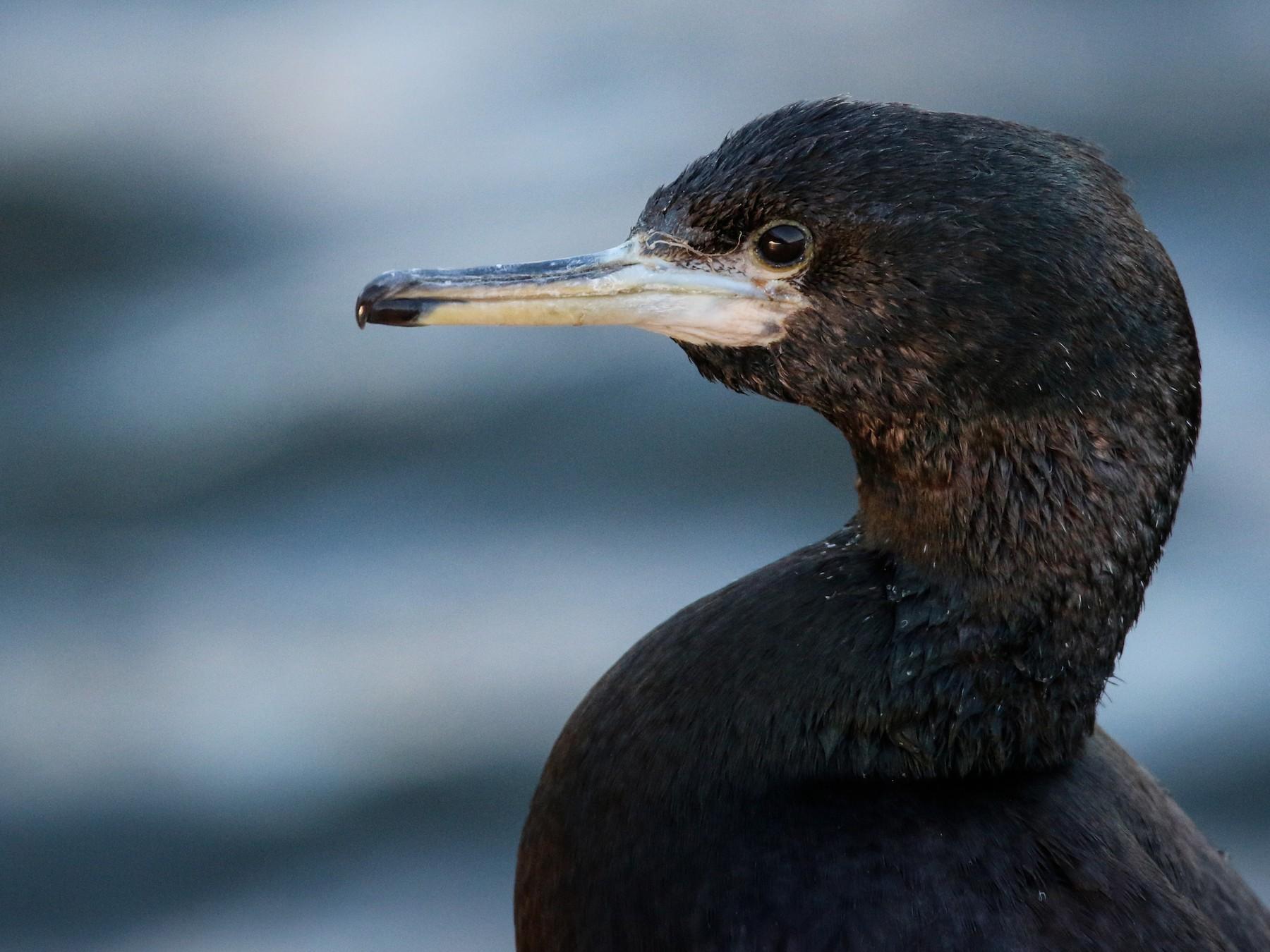 Red-faced Cormorant - Ian Davies