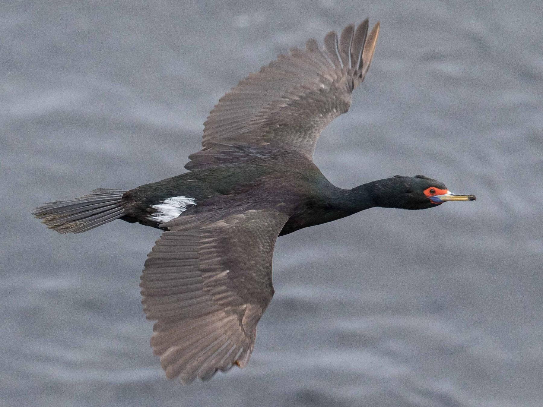 Red-faced Cormorant - Eric VanderWerf
