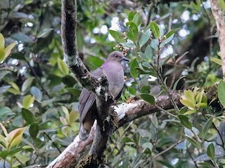 - Mindanao Brown-Dove