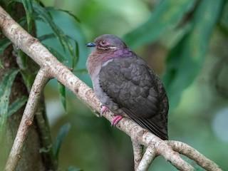- Amethyst Brown-Dove