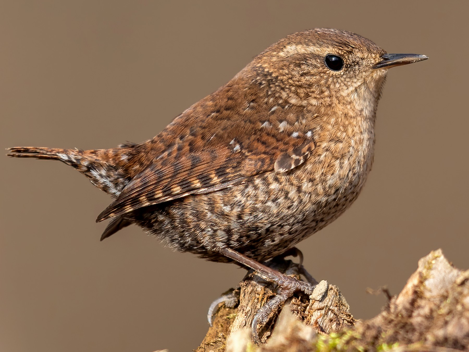 Winter Wren - Brad Imhoff