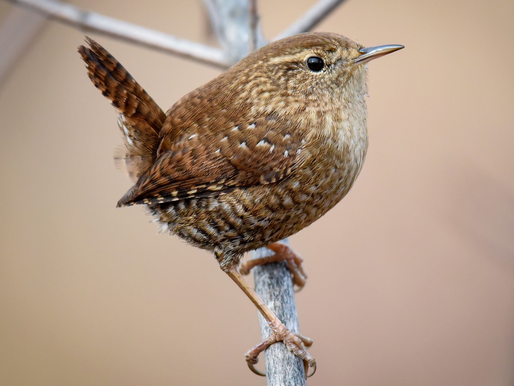 Winter Wren - Scott Martin