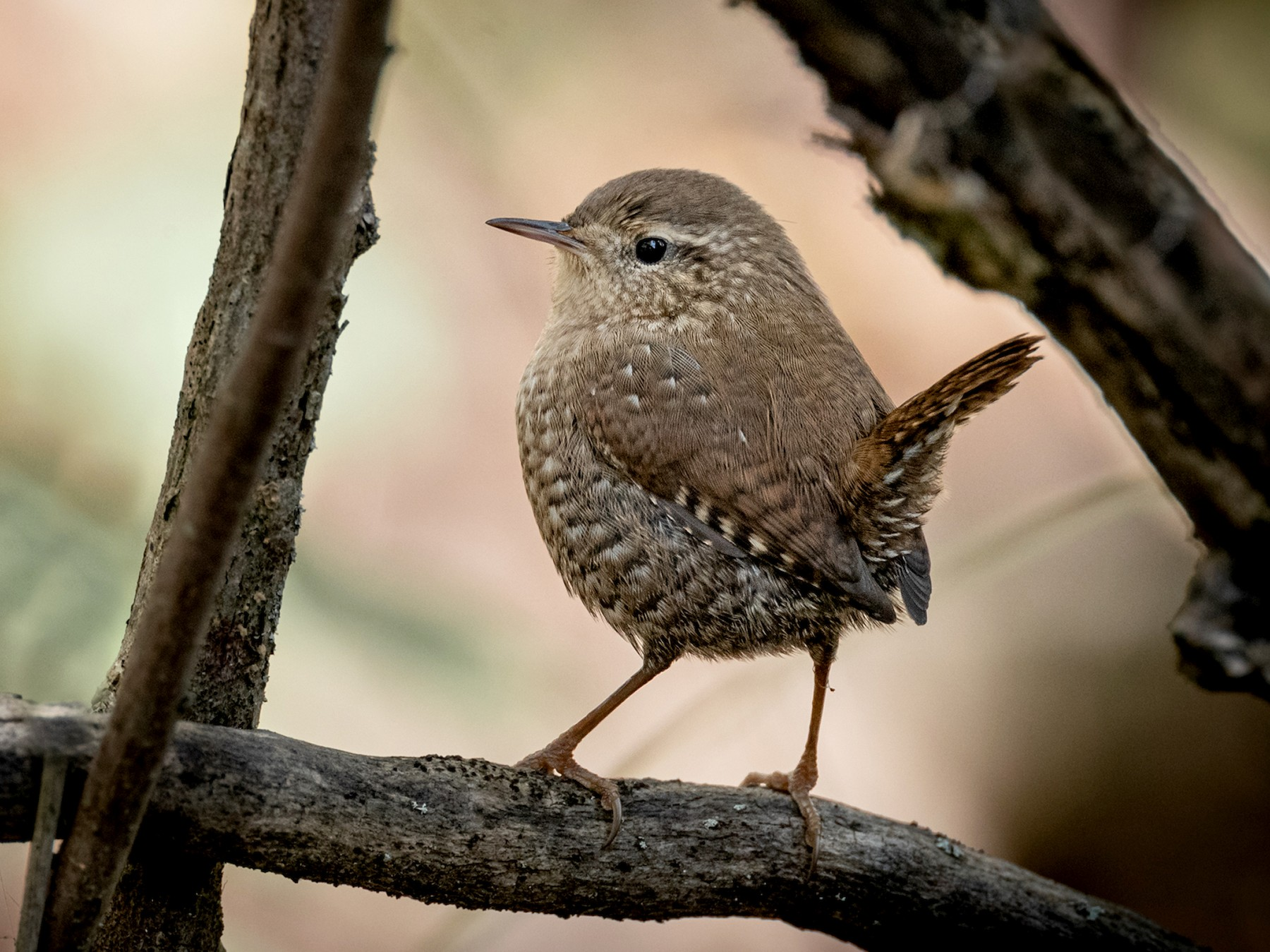 Winter Wren - Paul Jones