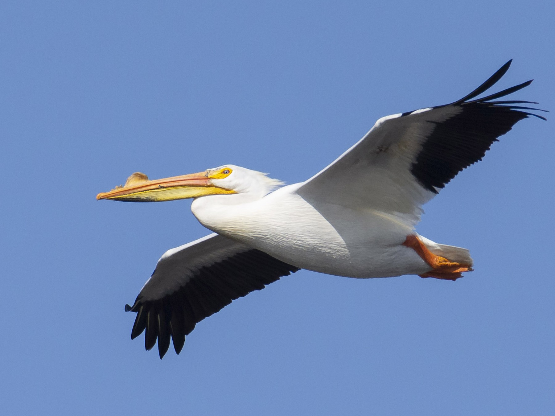 American White Pelican - Marky Mutchler