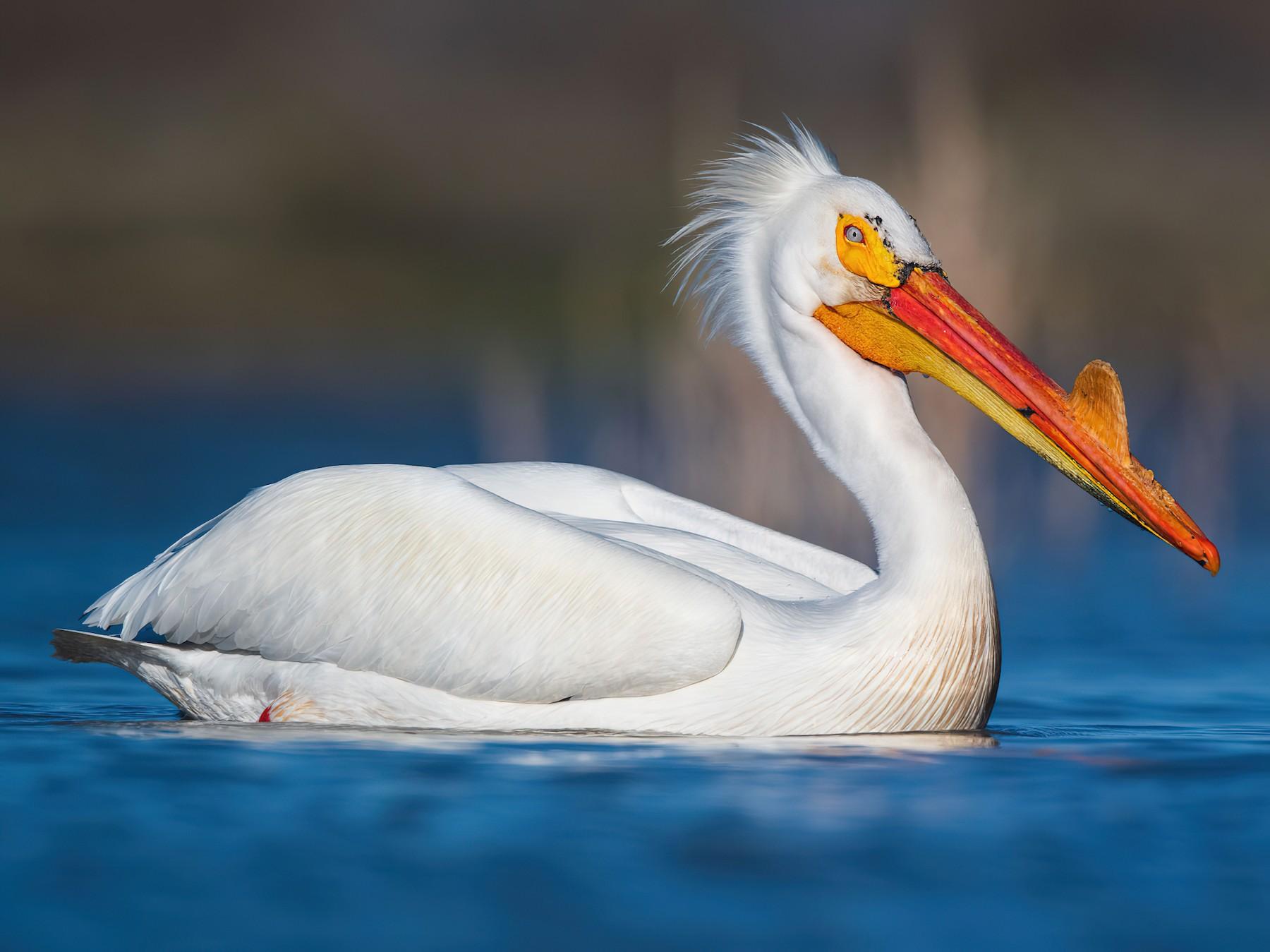 American White Pelican - Gerrit Vyn