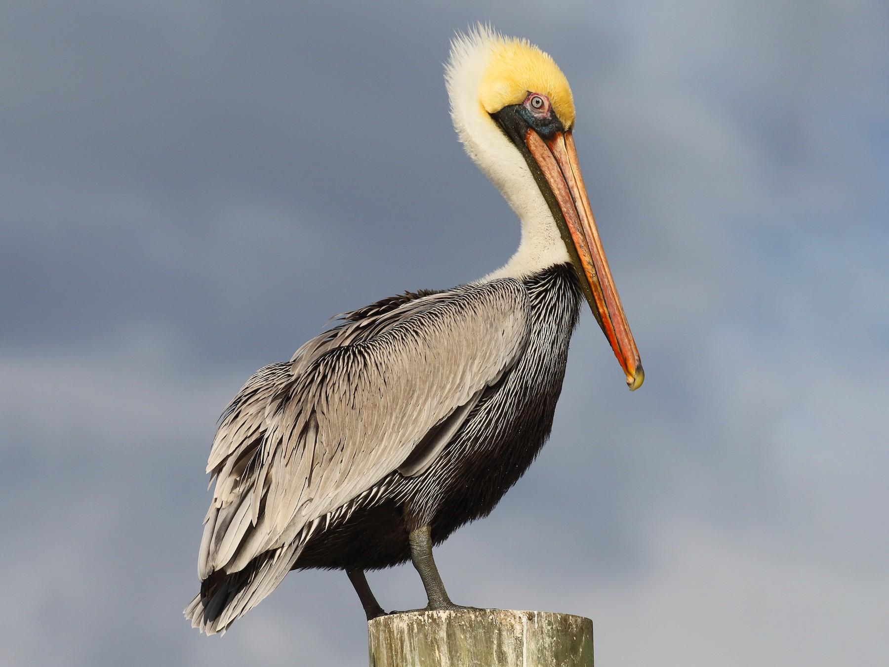 Brown Pelican - Dan Vickers