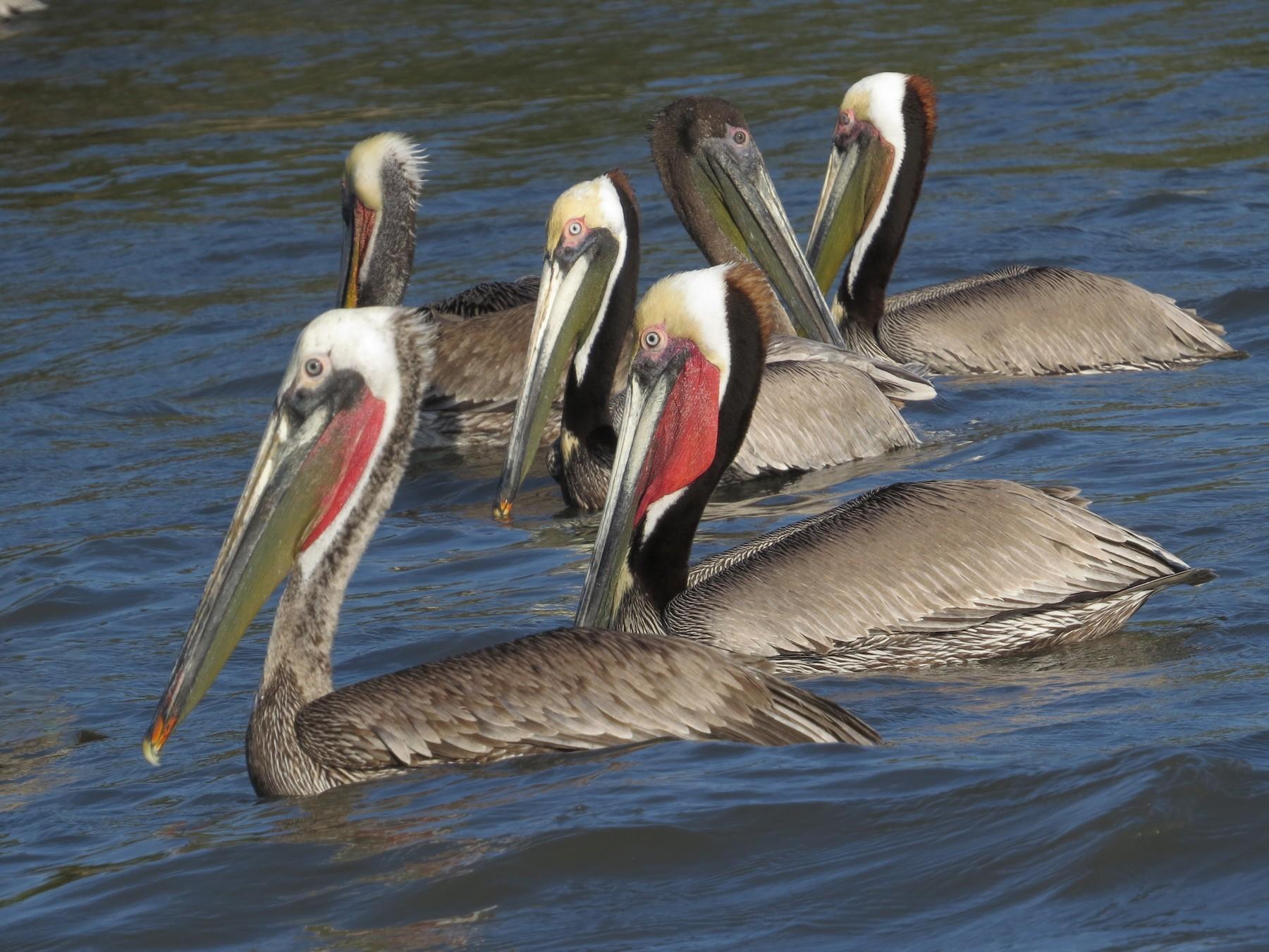 Brown Pelican - Bryant Olsen