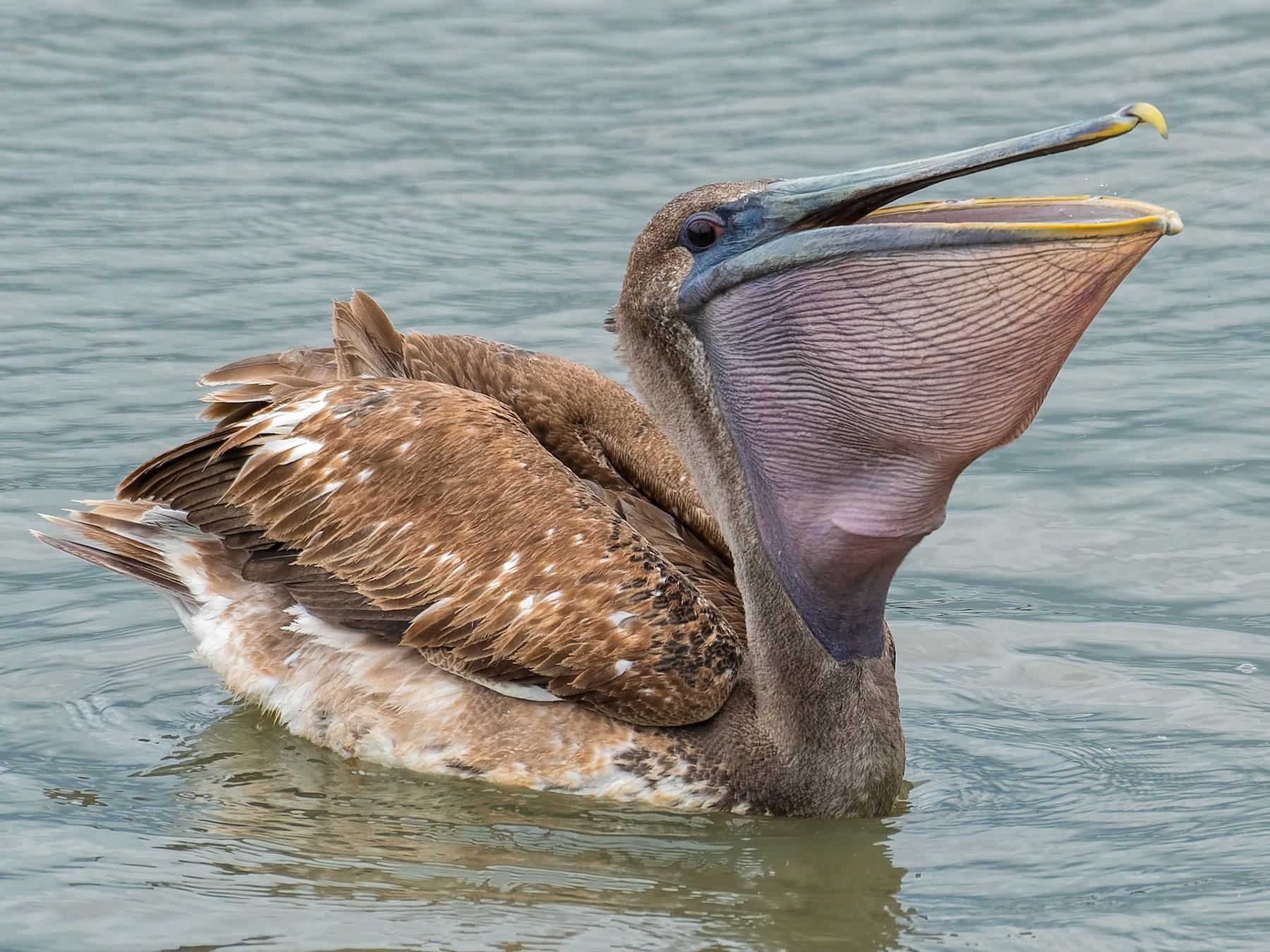 Brown Pelican - Don Danko