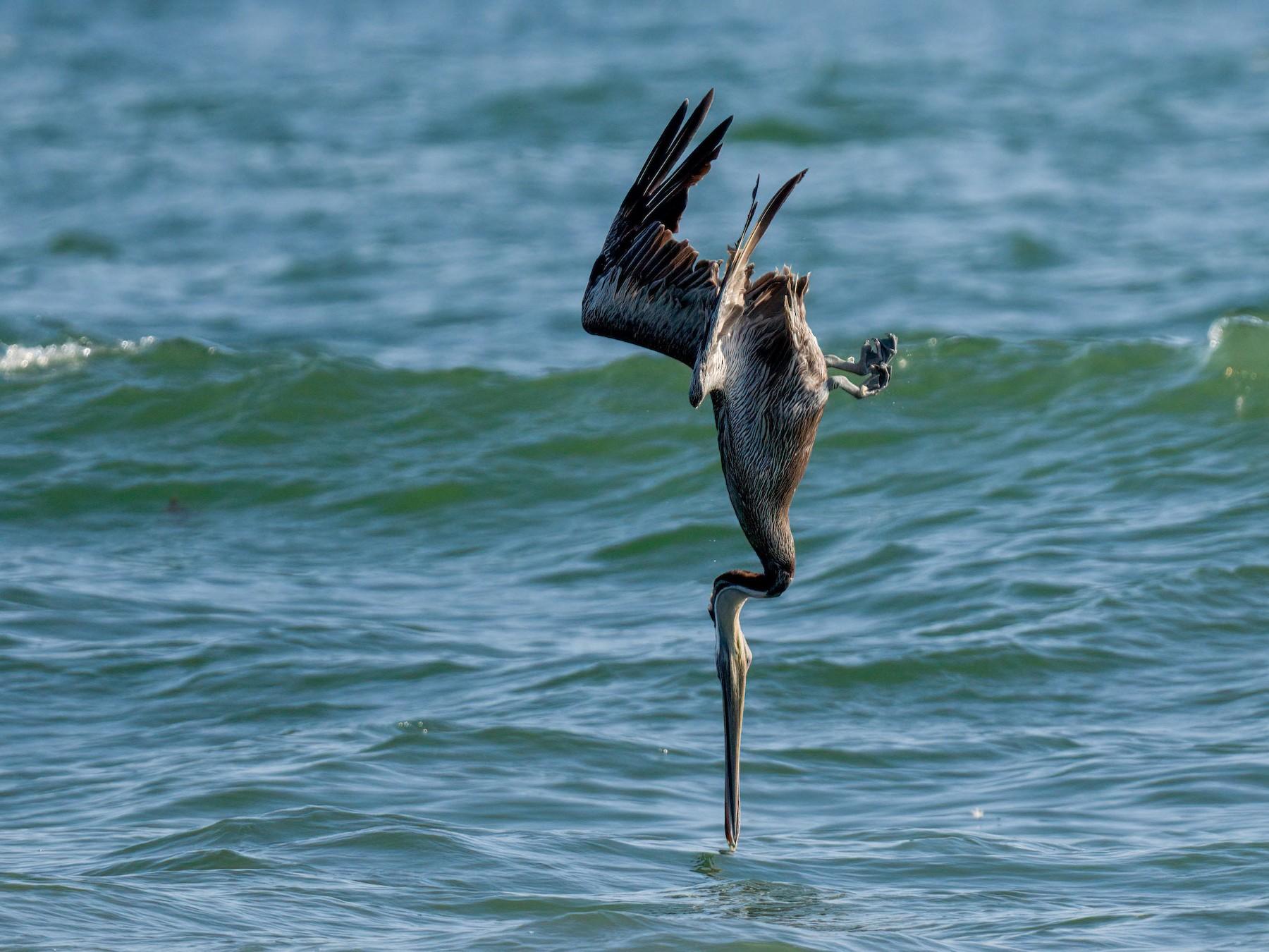 Brown Pelican - Andrew Newmark