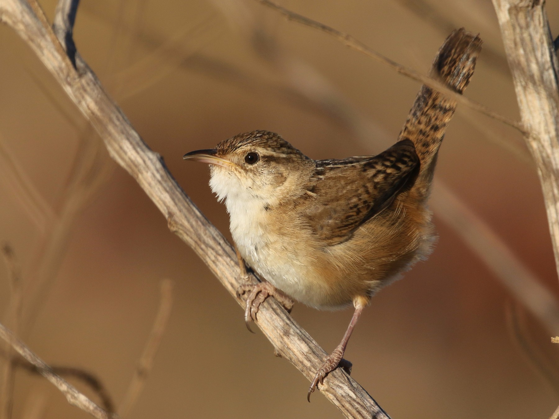 Sedge Wren - Daniel Branch