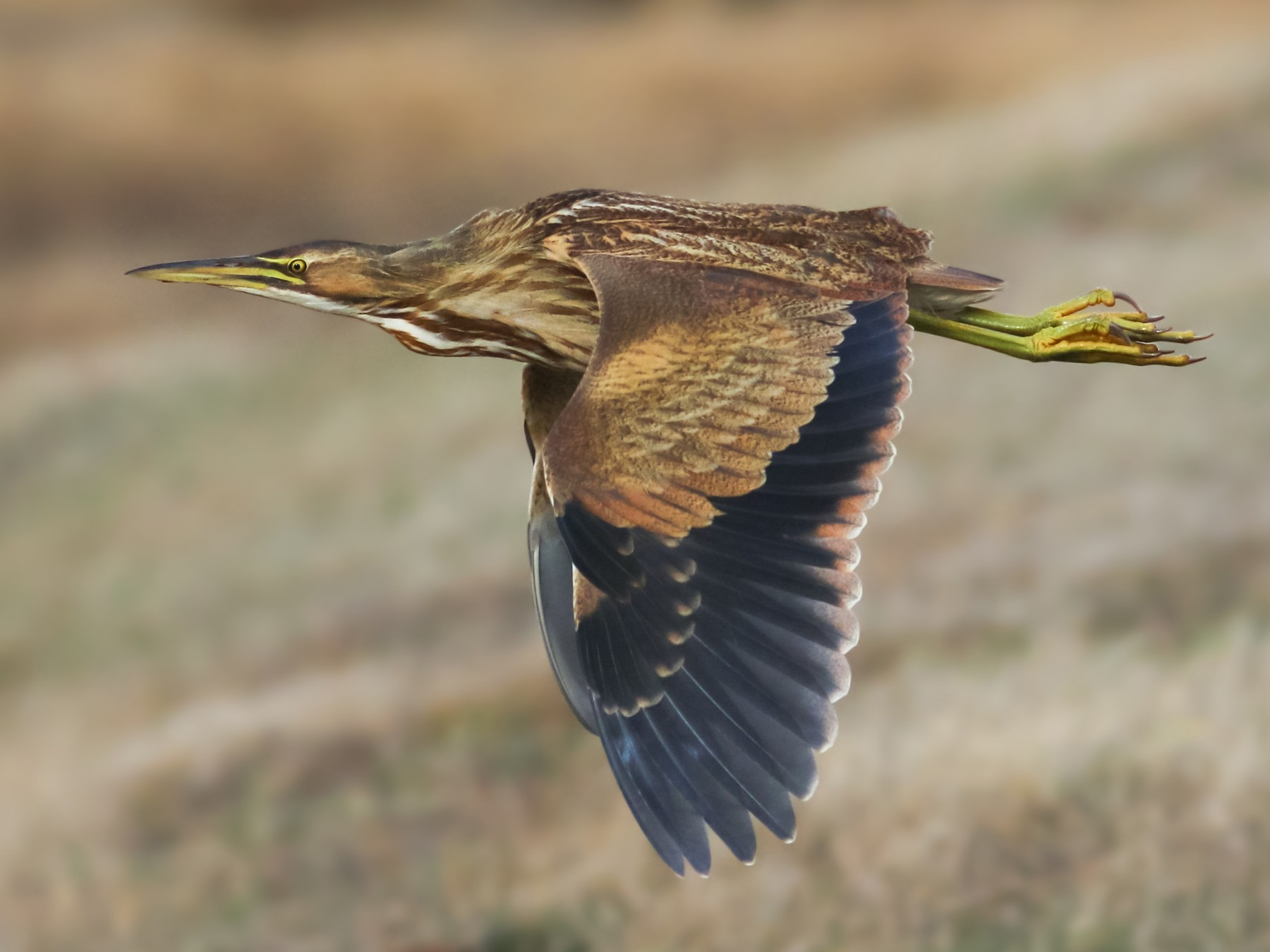American Bittern - Nathan Dubrow