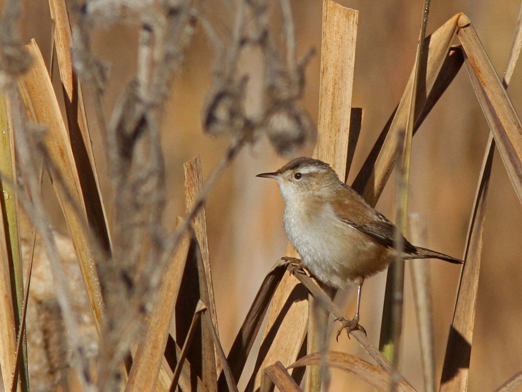 Marsh Wren - Larry Therrien
