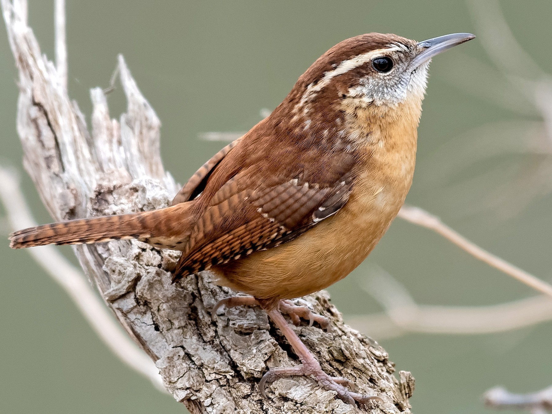 Carolina Wren - Don Danko