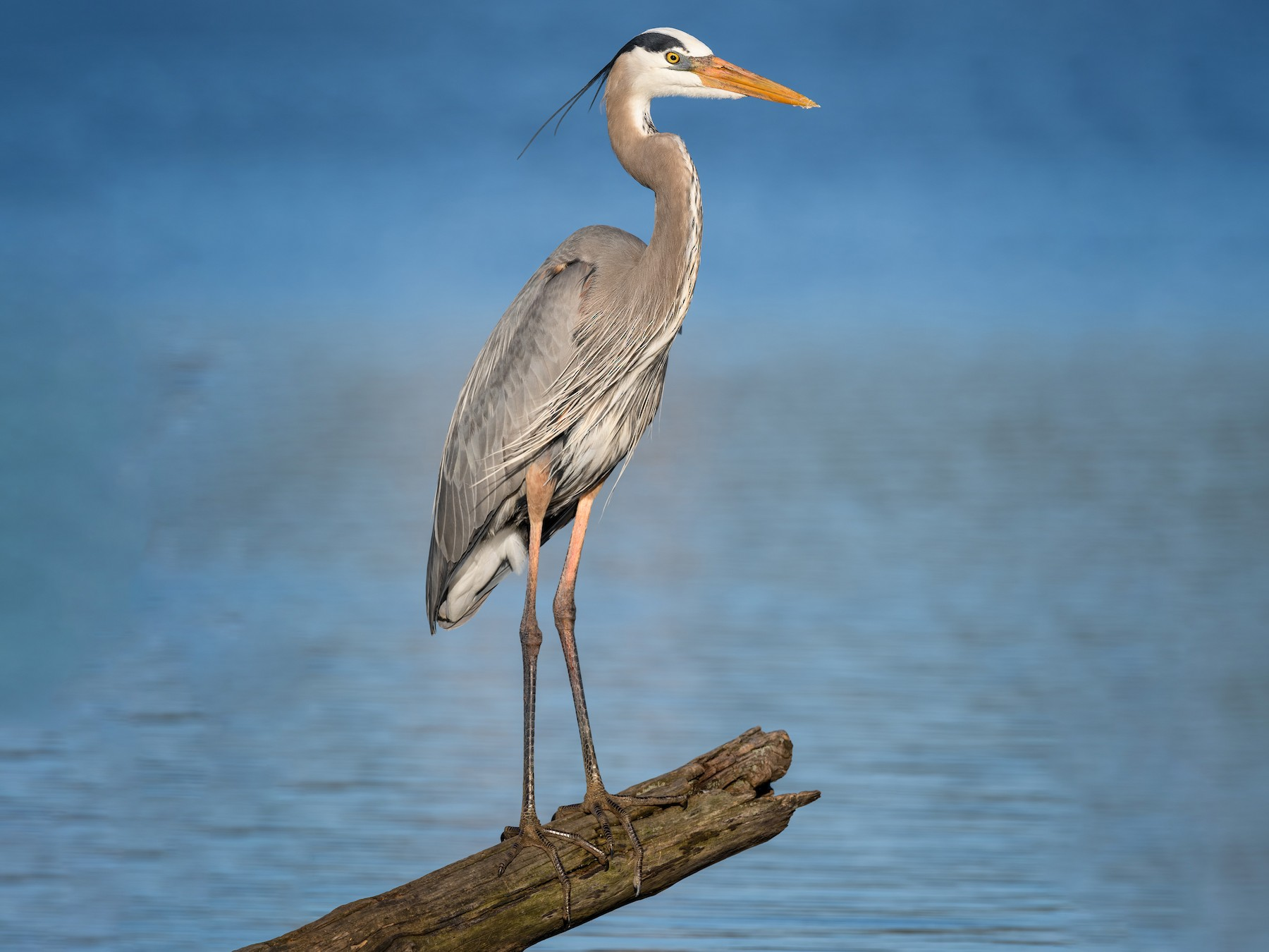 Great Blue Heron - Daniel Grossi