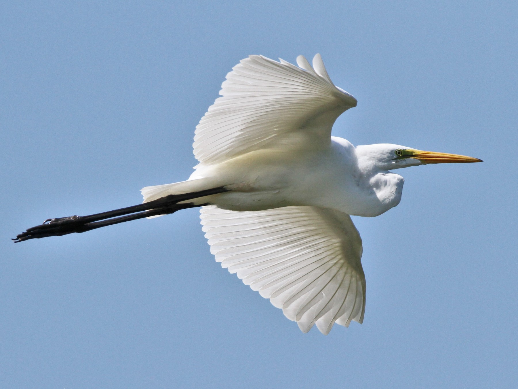 Great Egret - Henry Gorski