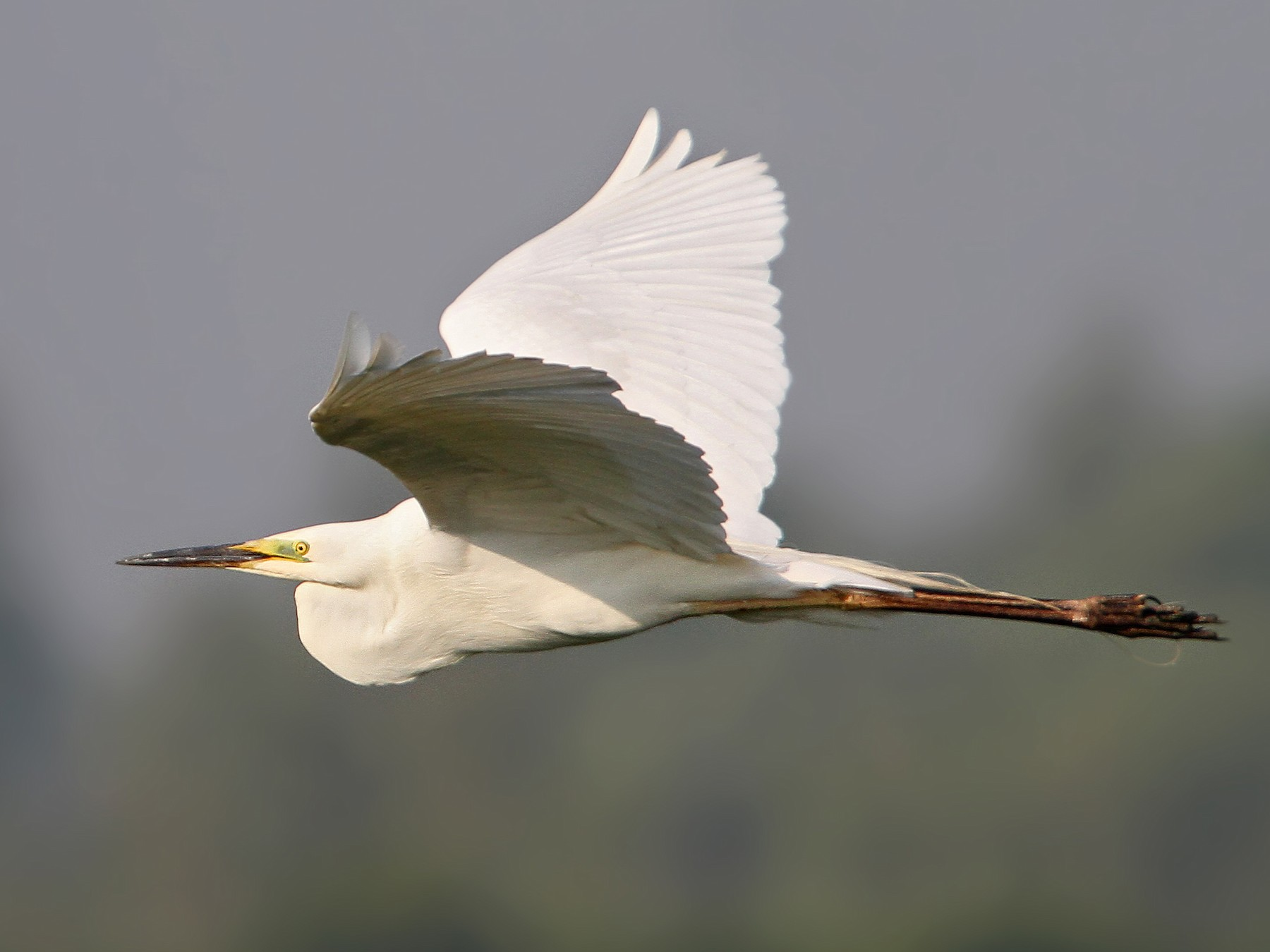 Great Egret - Christoph Moning