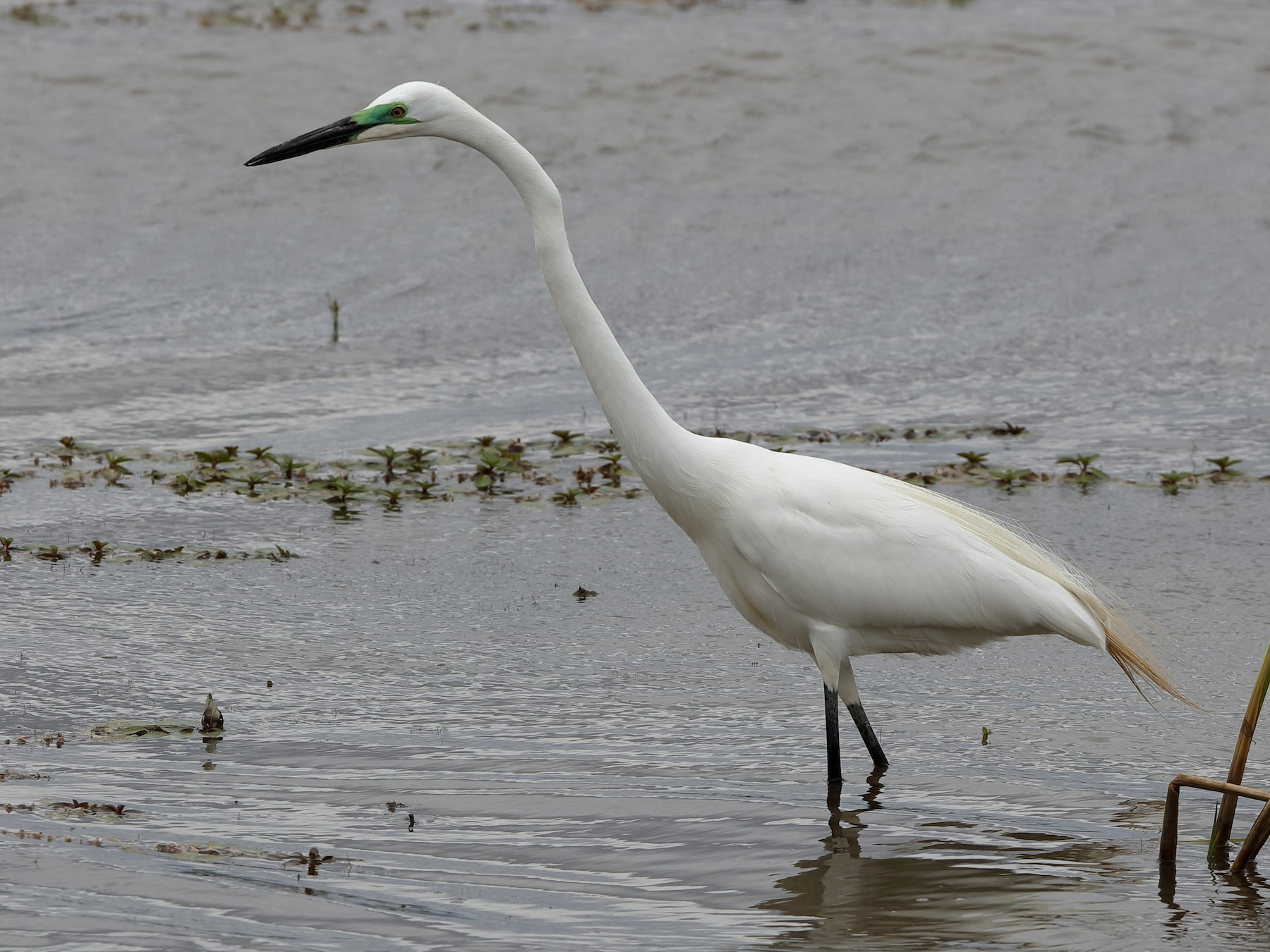 Great Egret - Holger Teichmann