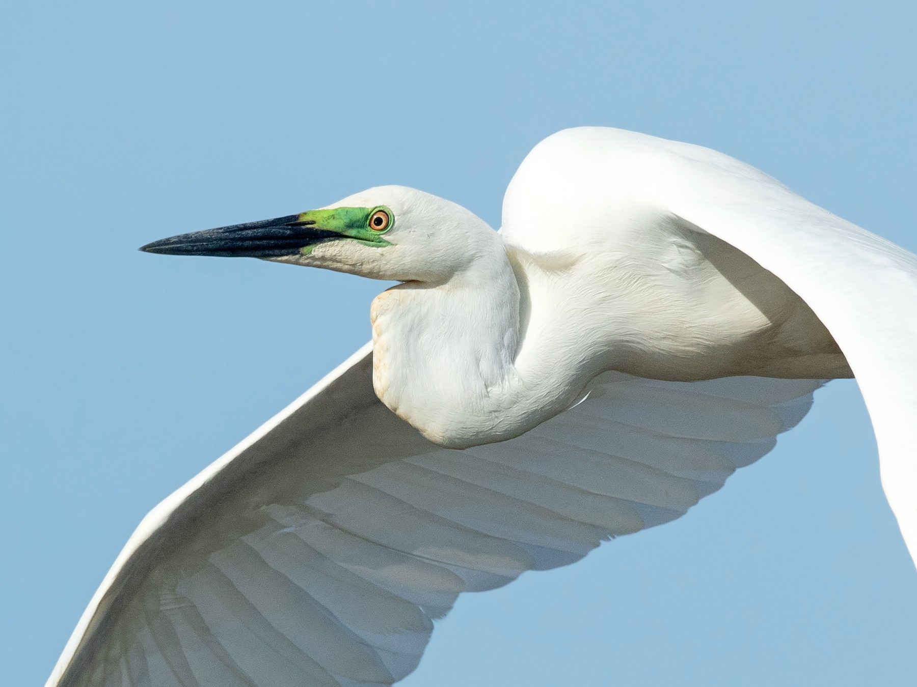Great Egret - David Irving