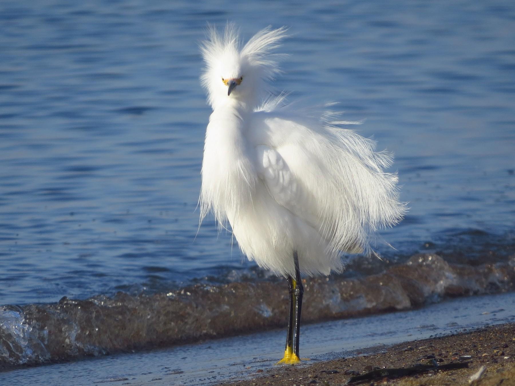 Snowy Egret - Ben Frueh