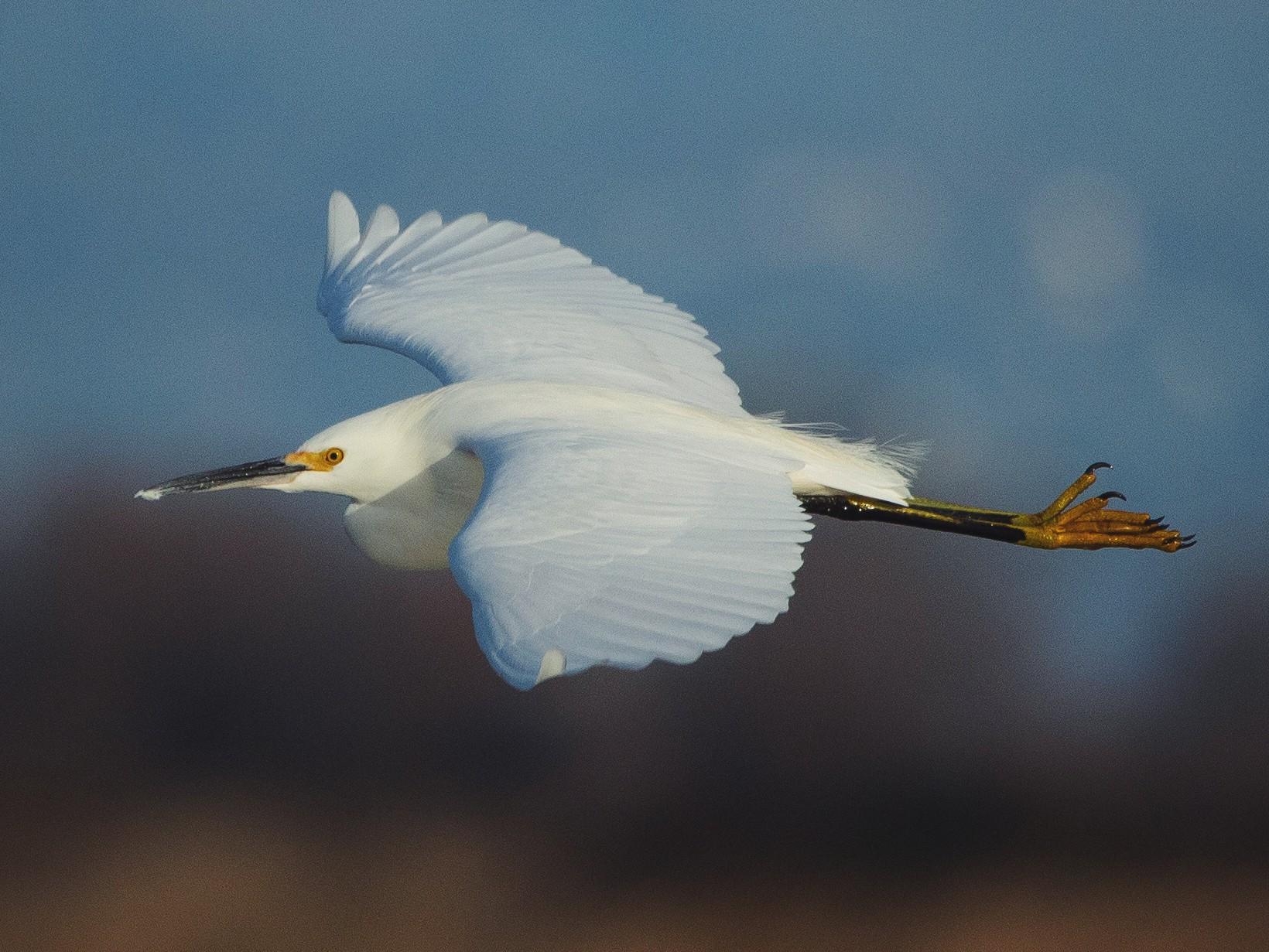 Snowy Egret - Liam Huber