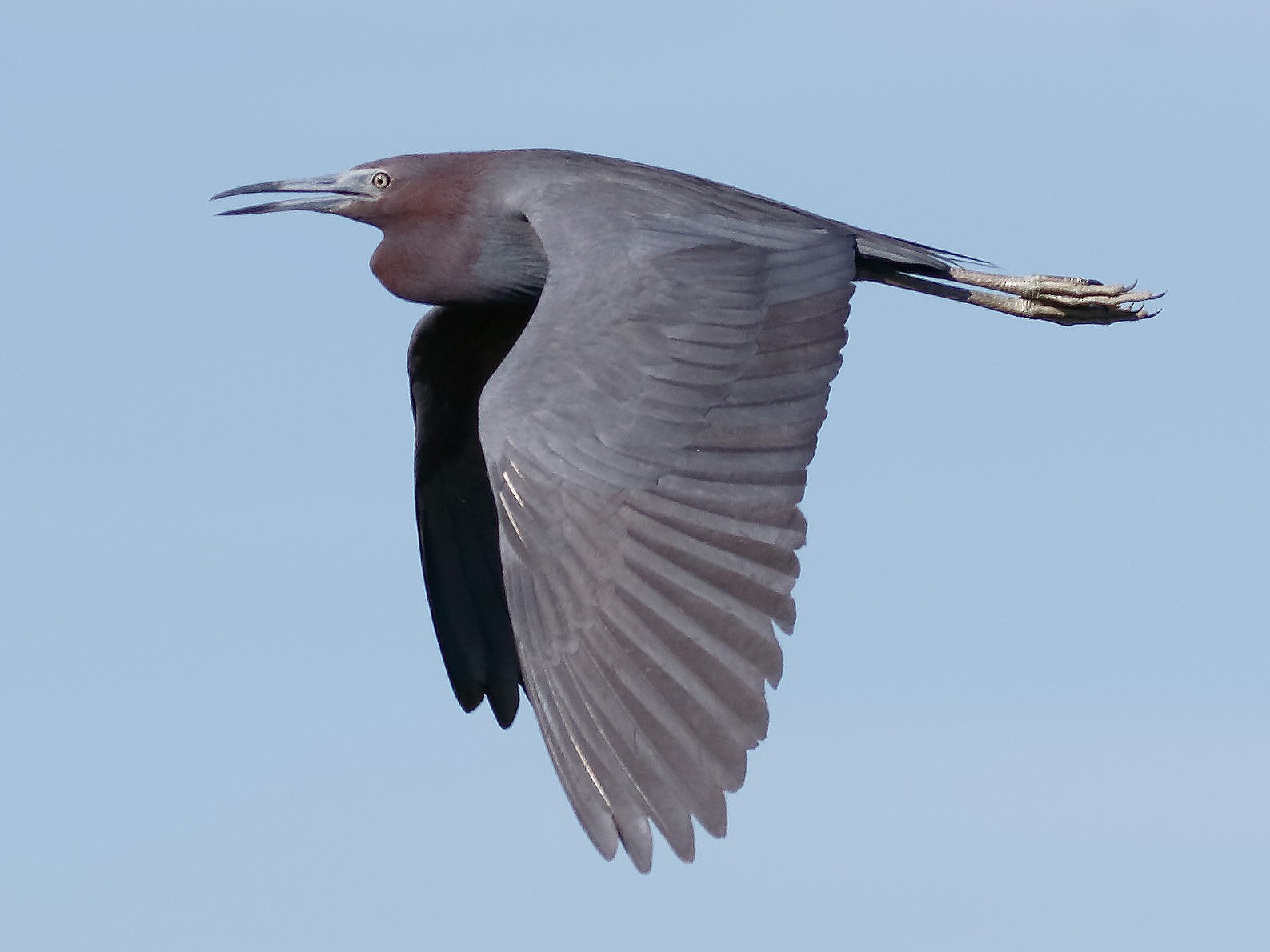 Little Blue Heron - Steve Kolbe