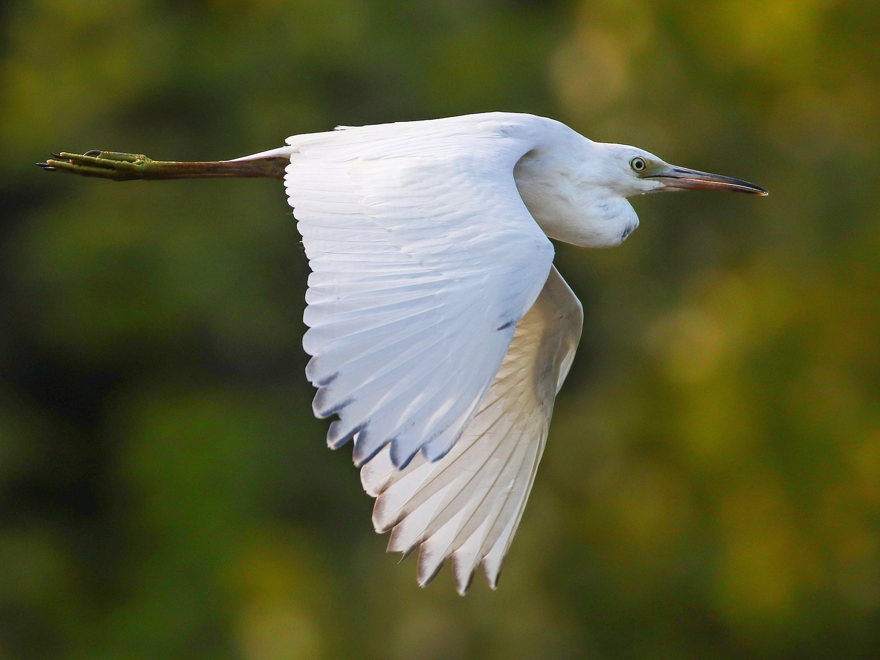 Little Blue Heron - Martina Nordstrand