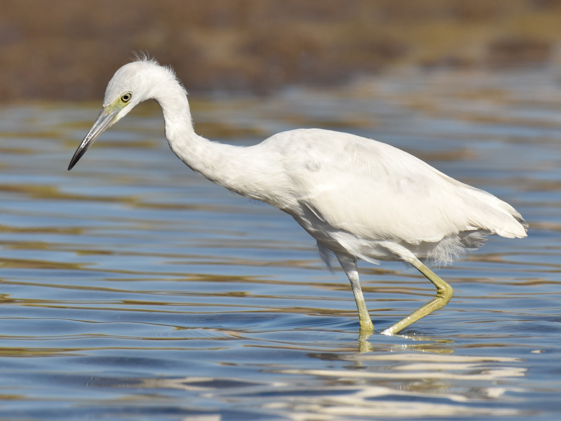 Little Blue Heron - Ryan O'Donnell