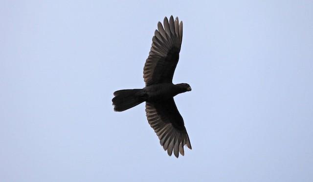 ©stephen  carter - Seychelles Parrot
