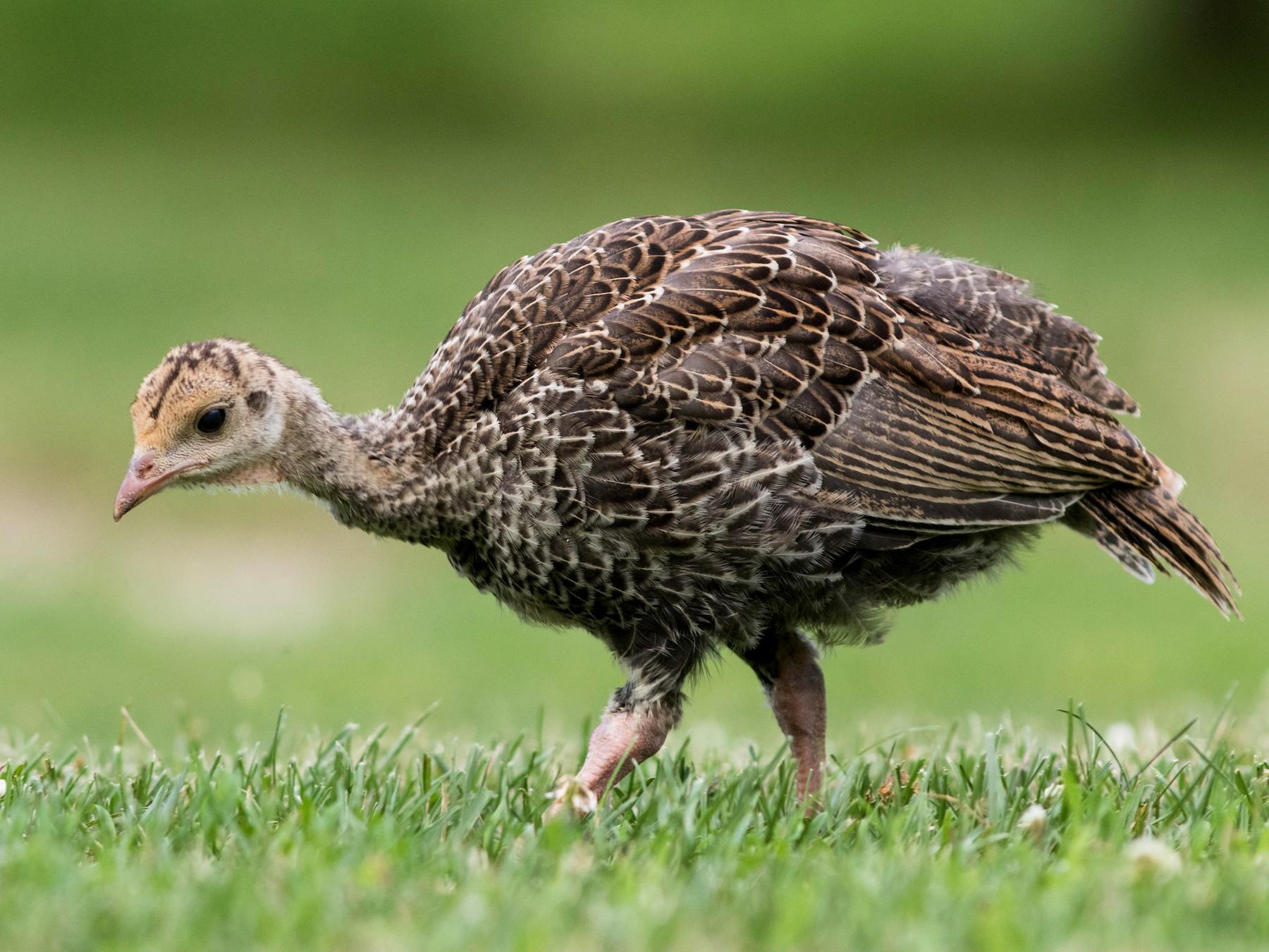 Wild Turkey - Doug Hitchcox