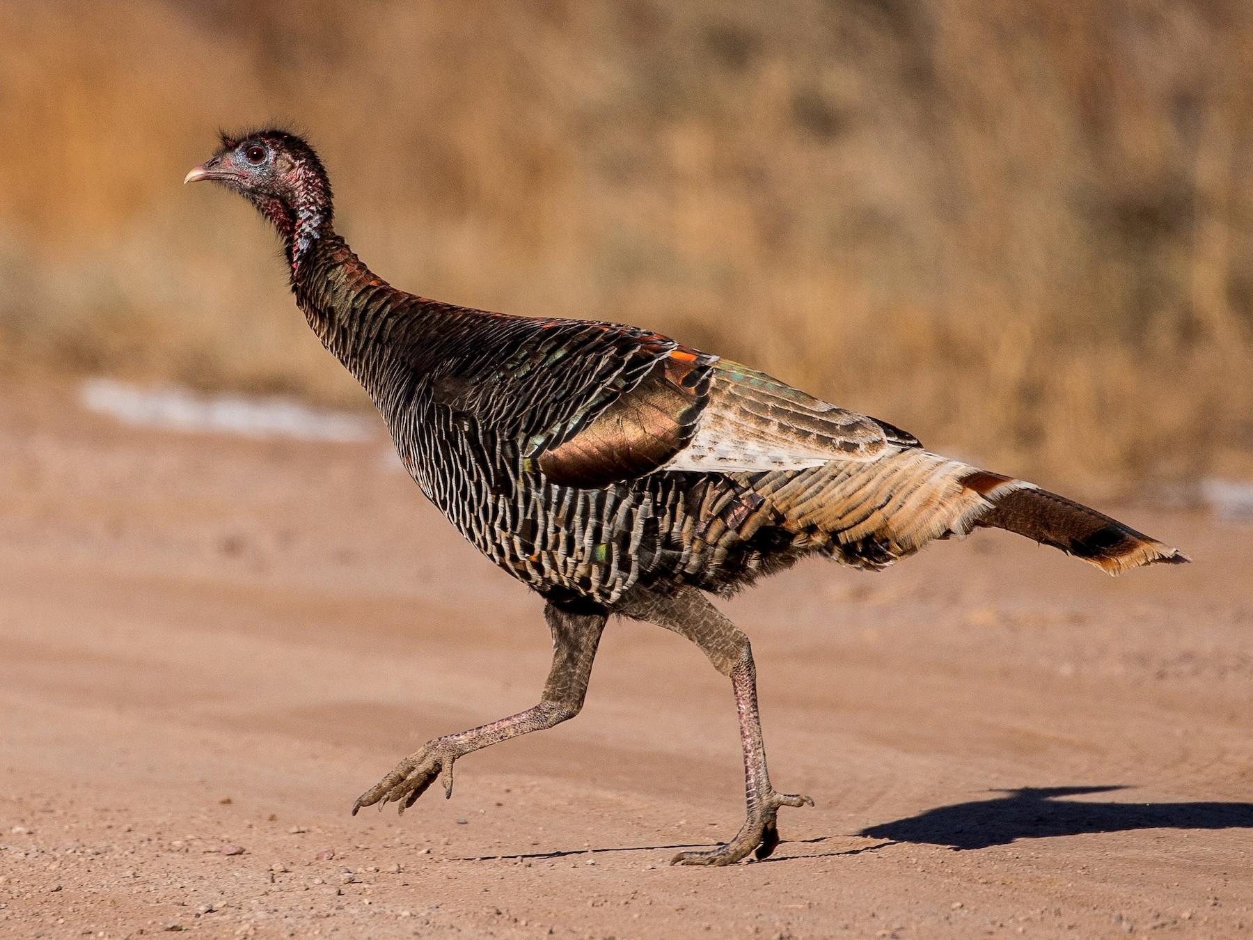Wild Turkey - Michael  Hilchey