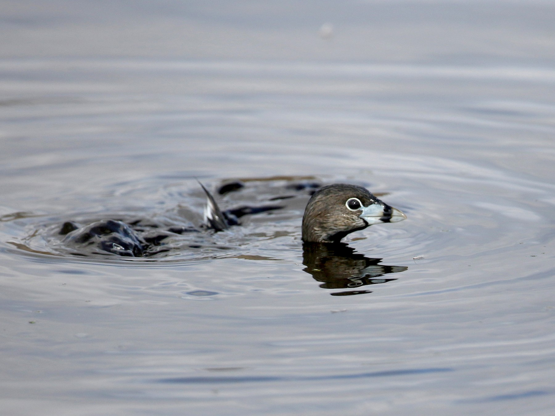 Pied-billed Grebe - Jay McGowan