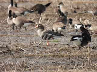 Greater White-fronted Goose, ML304544141