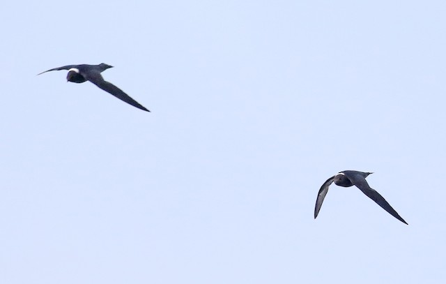 White-naped Swift
