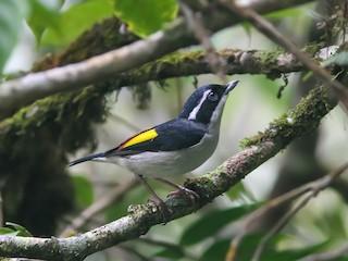 - Pied Shrike-Babbler