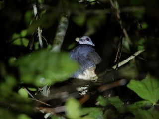 - Thick-billed Ground-Pigeon