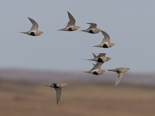 - Pallas's Sandgrouse