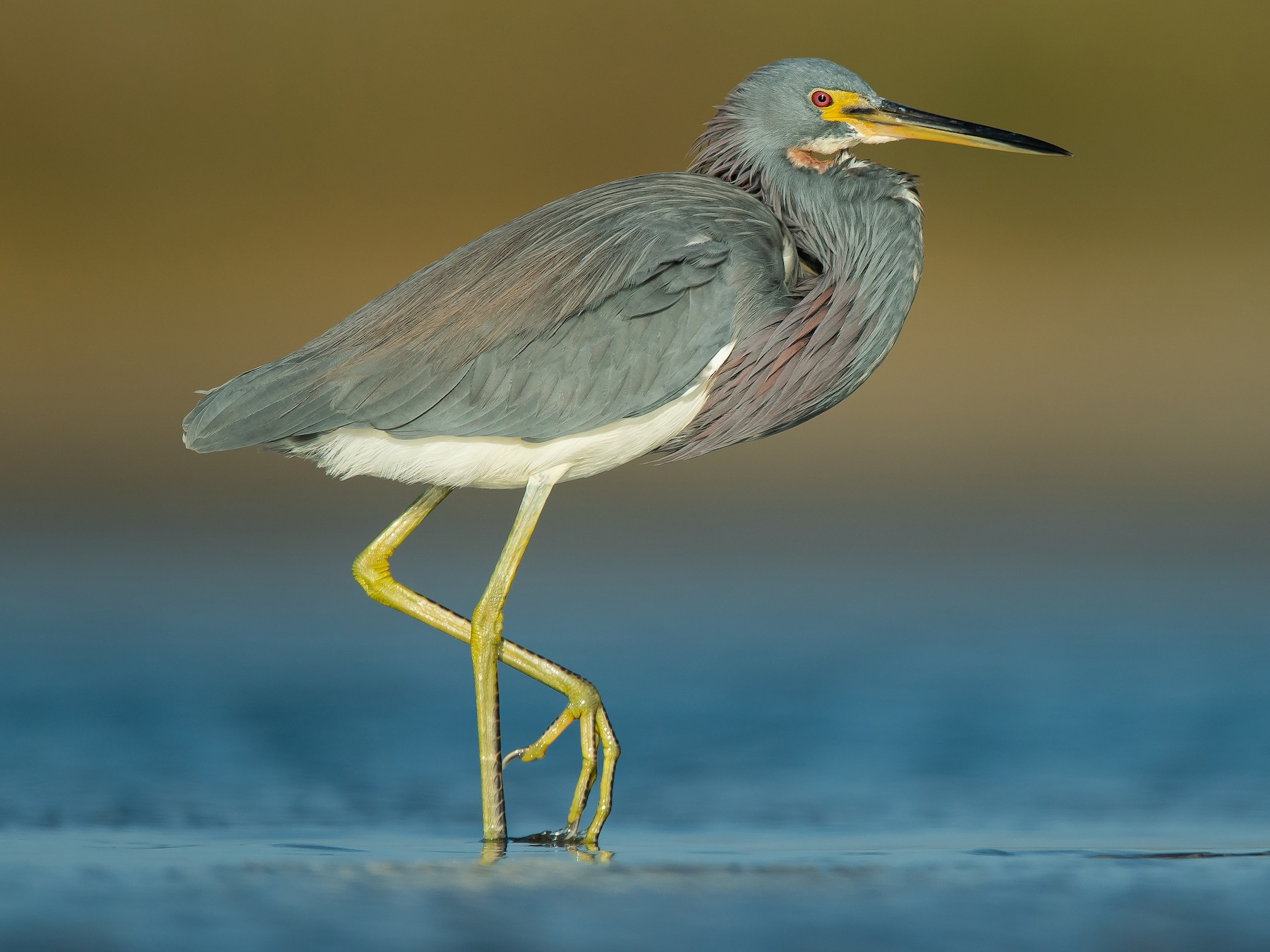 Tricolored Heron - Dorian Anderson
