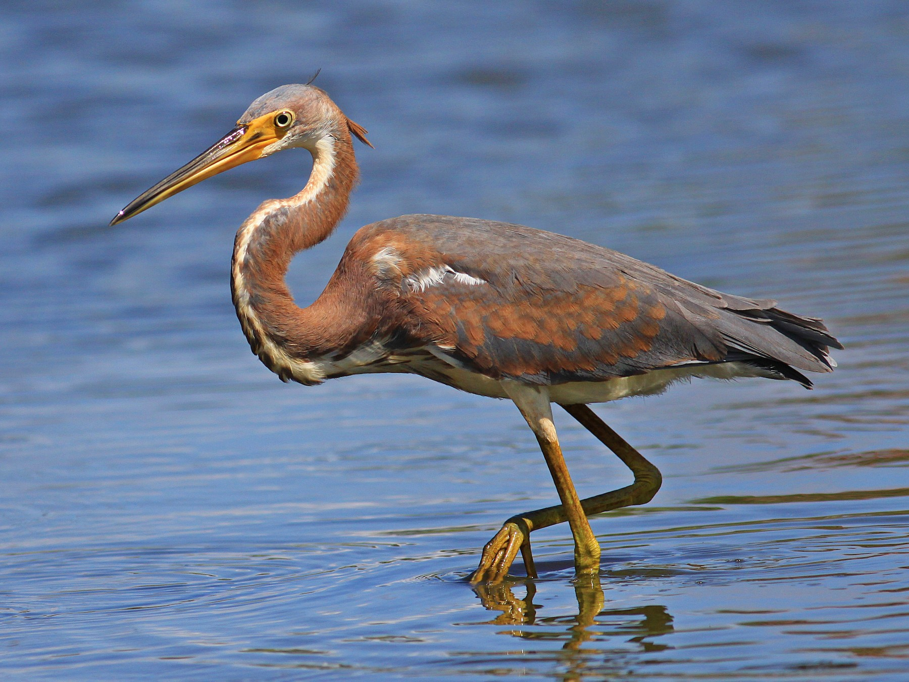 Tricolored Heron - Rufus Wareham